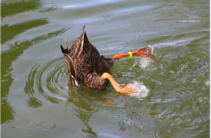 https://pixabay.com/en/pond-mallard-upside-down-foraging-724490/