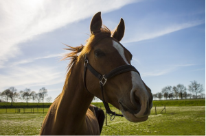 https://pixabay.com/en/horse-spring-brown-blue-sky-muzzle-742424/
