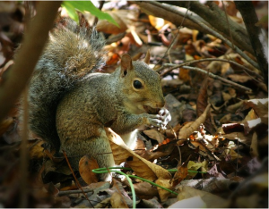 https://pixabay.com/en/squirrel-eating-nuts-acorn-forest-61231/