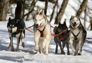 https://pixabay.com/en/huskies-husky-blue-eye-dog-snow-273409/